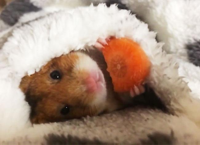 , Ce Hamster qui Mange sa Carotte va vous Faire Craquer (video)