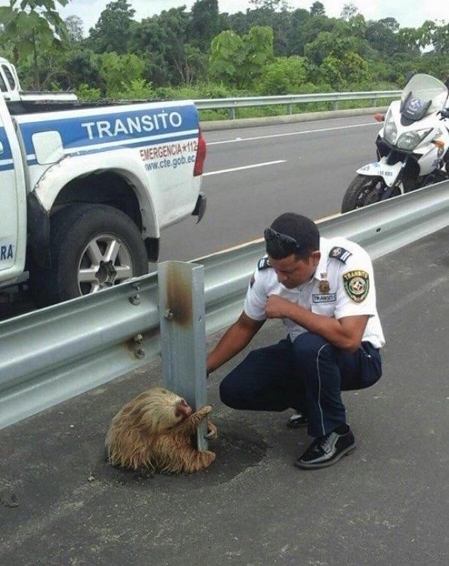 , Coincé sur l'Autoroute, ce Paresseux va Etre Sauvé par un Policier