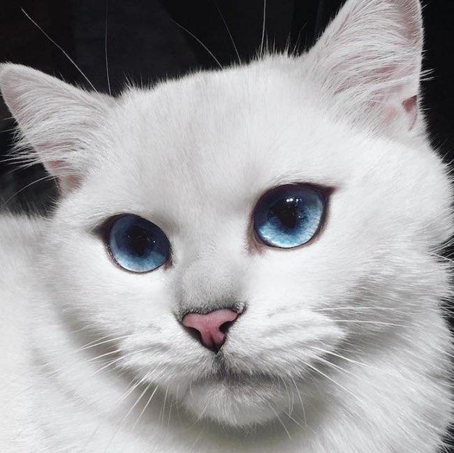 chats blancs aux yeux bleus. Black Bedroom Furniture Sets. Home Design Ideas