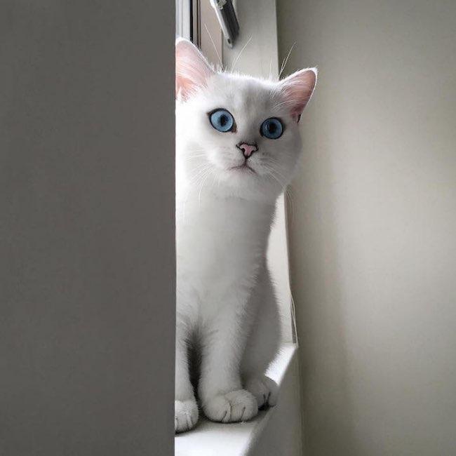 , Le Chat Blanc aux Grands Yeux Bleus qui Séduit le Monde