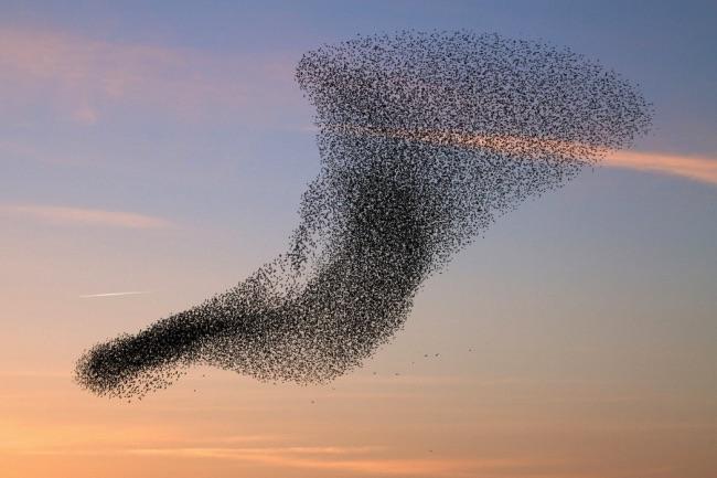 , 70000 Oiseaux Etourneaux dans un Phénoménal Ballet (video)