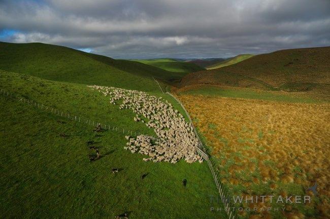, Fascinants Déplacements de Moutons Filmés d'un Drone (video)