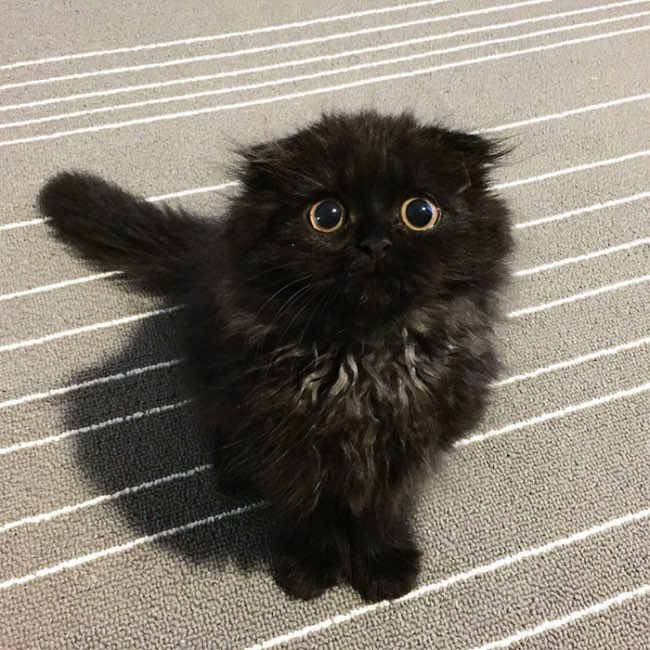 , Avec ses Grands Yeux Ronds Expressifs ce Chat Noir va vous Hypnotiser