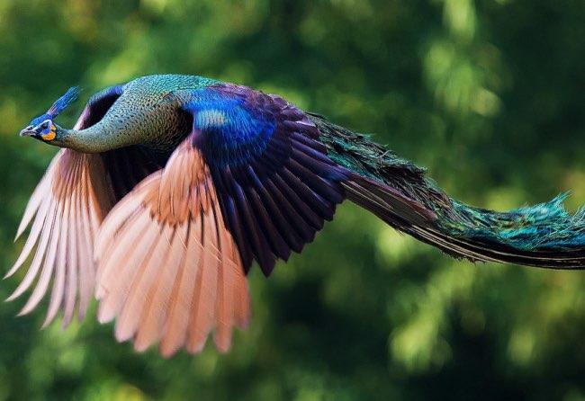 oiseau paons plein vol volant 8 - Le Spectacle Rare et Fascinant de Paons en Plein Vol (video)