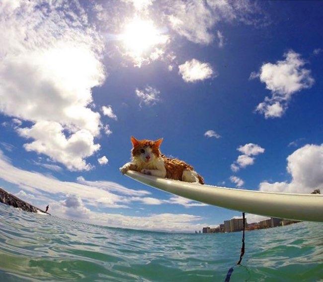 , Malgré son Unique Oeil ce Chat Surfe sur les Vagues de Hawai