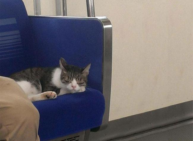 , Depuis 3 Ans ce Chat Prend Seul le Métro de Tokyo