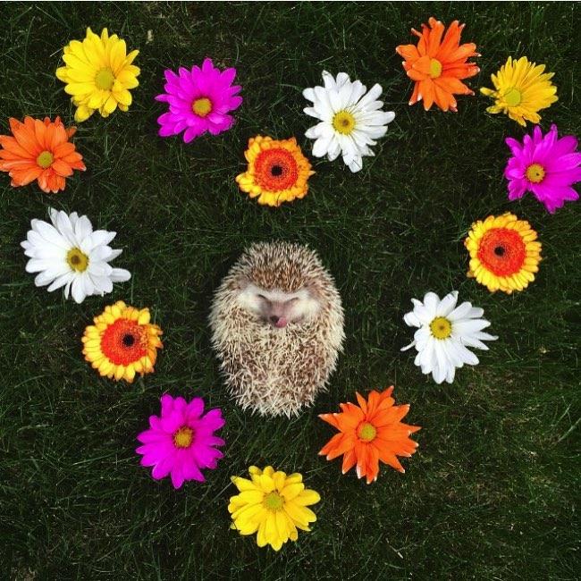 herisson huff instagram star 7 - Voici le Hérisson aux Deux Canines qui Fait Craquer Instagram