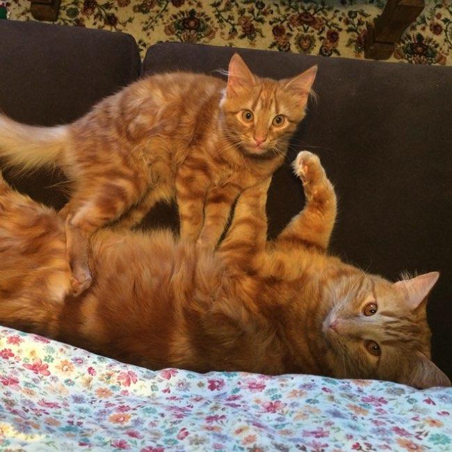 , Quand Ce Jeune Chat Roux Rencontre son Double, Il le Suit Comme Son Ombre !
