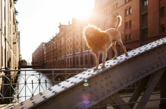 photo julie marie werner grossstadtlowe lion ville chien 7 331x219 - Trouvé dans les Poubelles ce Chien Devient le Roi Lion de la Ville
