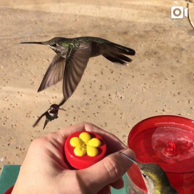 , Les Colibris sont ses Amis et Mangent même dans sa Main
