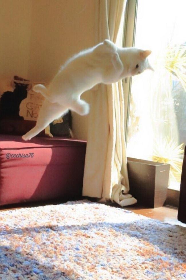 , Incroyable, ce Chat Blanc est un Véritable Danseur Etoile