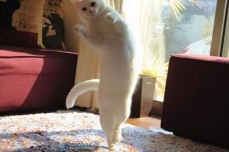 chat-danseur-etoile-japon-blanc-6