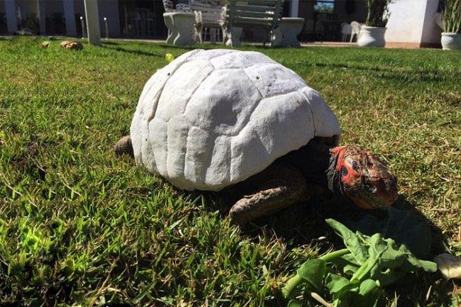 freddy-tortue-carapace-imprime-3d-greffe-1