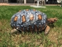 freddy-tortue-carapace-imprime-3d-greffe-2