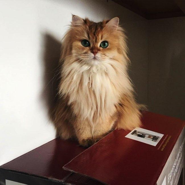 smoothie chat instagram beau, Smoothie, le plus Beau Chat du Monde c'est Certainement Lui !
