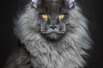 robert-sijka-maine-coon-chats-portraits-photo-1