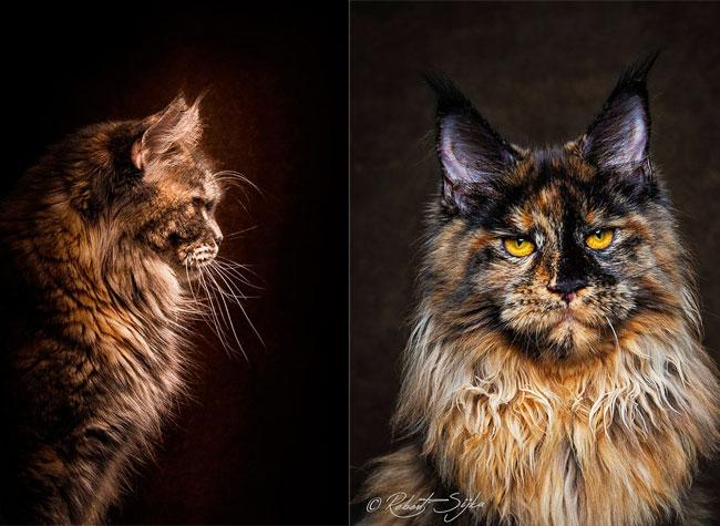 Chats Maine Coon Robert Sijka, Majestueux Photos Portraits de Chats Maine Coon