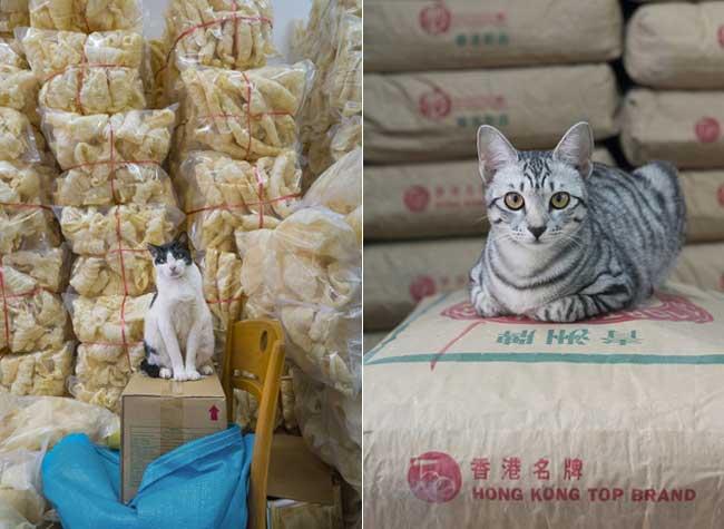 , Hong Kong et ses Magasins où Règnent les Chats, Petits Empereurs Félins