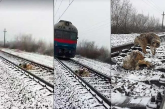 chiens blesse rail train sauves ukraine 1 331x219 - Ce Chien Protège sa Compagne d'une Mort Certaine Coincée sur les Rails (Video)