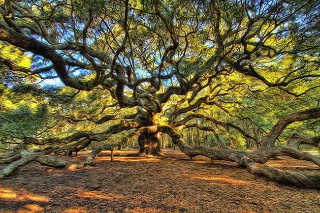 , Cet Impressionnant Chêne Ange de 500 ans est une Merveille de la Nature
