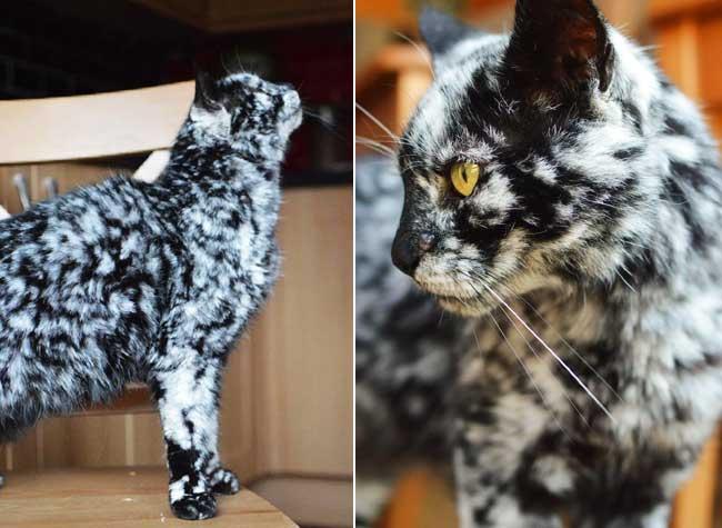 , Alors qu'il Etait Noir, ce Chat a Maintenant un Pelage Marbré