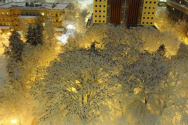 nuee oiseaux arbres hiver neige portland 1 - Nuée d'Oiseaux dans les Arbres Couverts de Neige à Portland