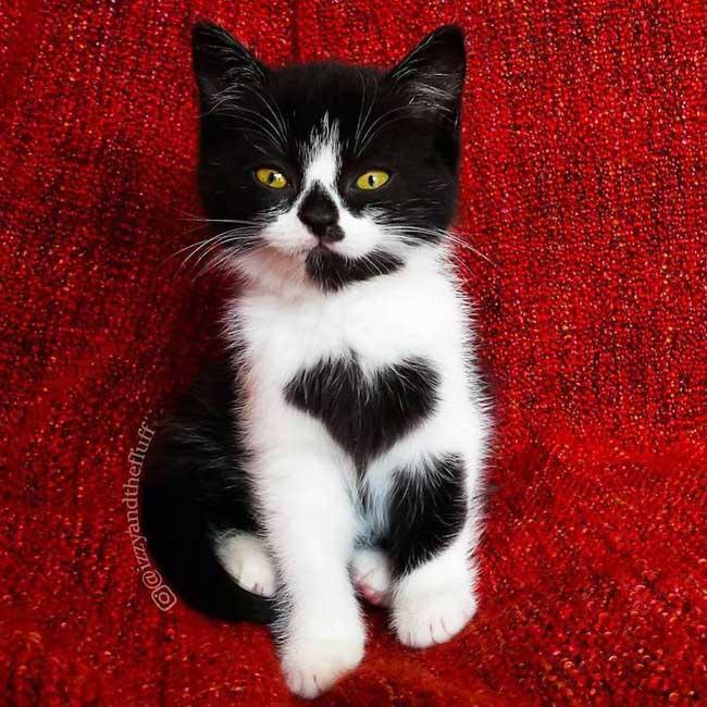 , Le Chat Zoë avec son Joli Coeur sur le Pelage Affole Internet