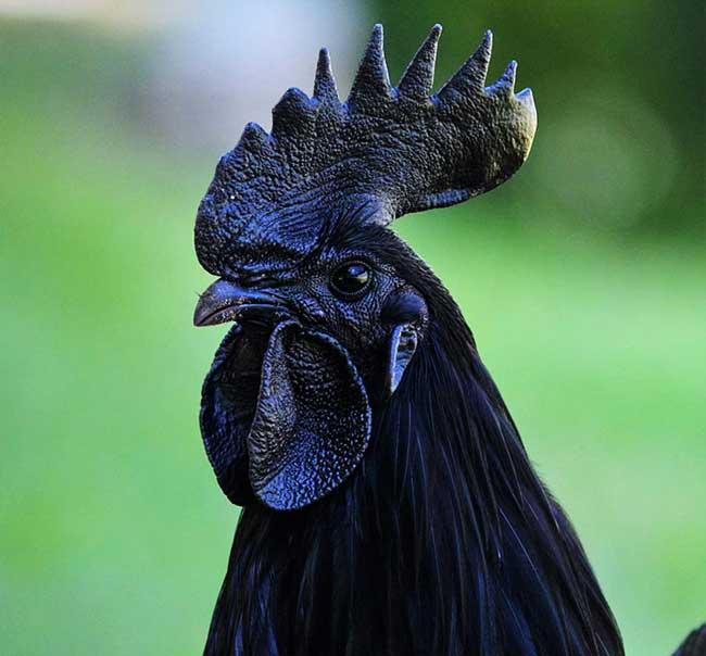 , Bien Réel ce Poulet Noir Ebene n'est Pas une Sculpture