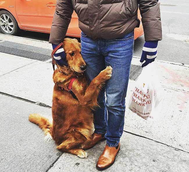 , Ce Chien Golden Retriever Caline les New Yorkais à Chaque Coin de Rue