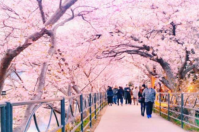 8 Photos De Cerisiers A Fleurs Au Japon En Ce Printemps Qui Vont