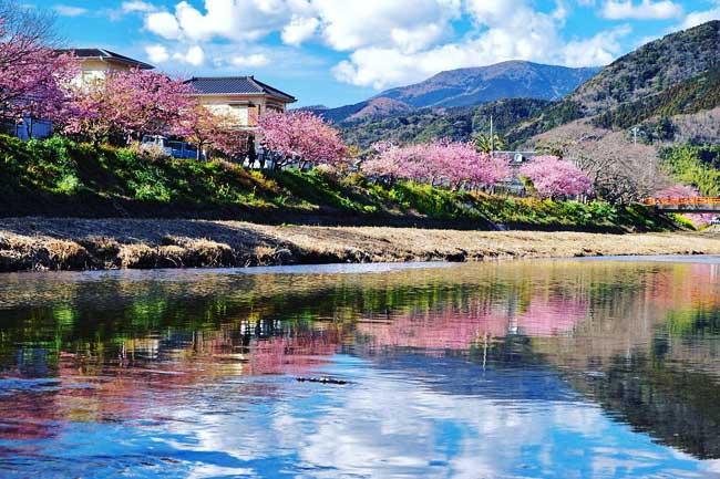cerisiers fleurs, Cerisiers en Fleurs au Japon en ce Printemps Enchanteur