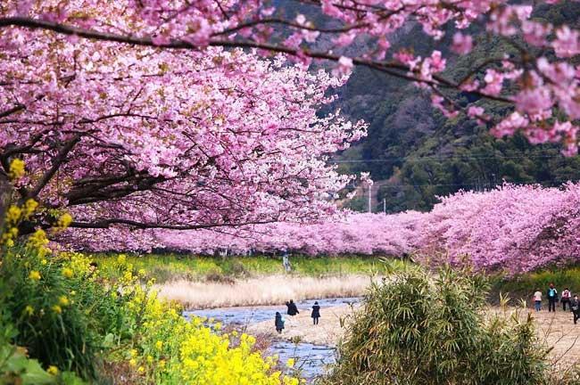 Japon cerisiers en fleurs 2017 id e d 39 image de fleur - Greffe du cerisier au printemps ...