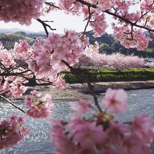 9 photos de cerisiers à fleurs au japon en ce printemps qui vont