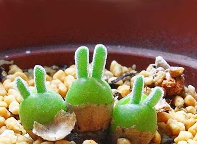 Monilaria plante lapin, Monilaria, une Plante à Tête de Lapin Venue du Japon