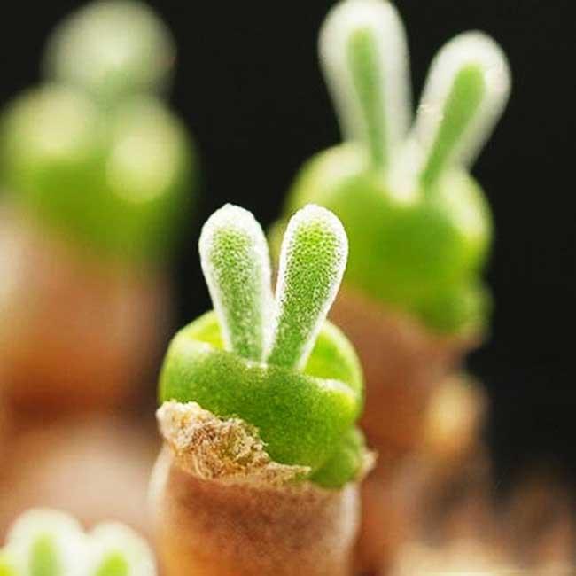 plante grasse lapin