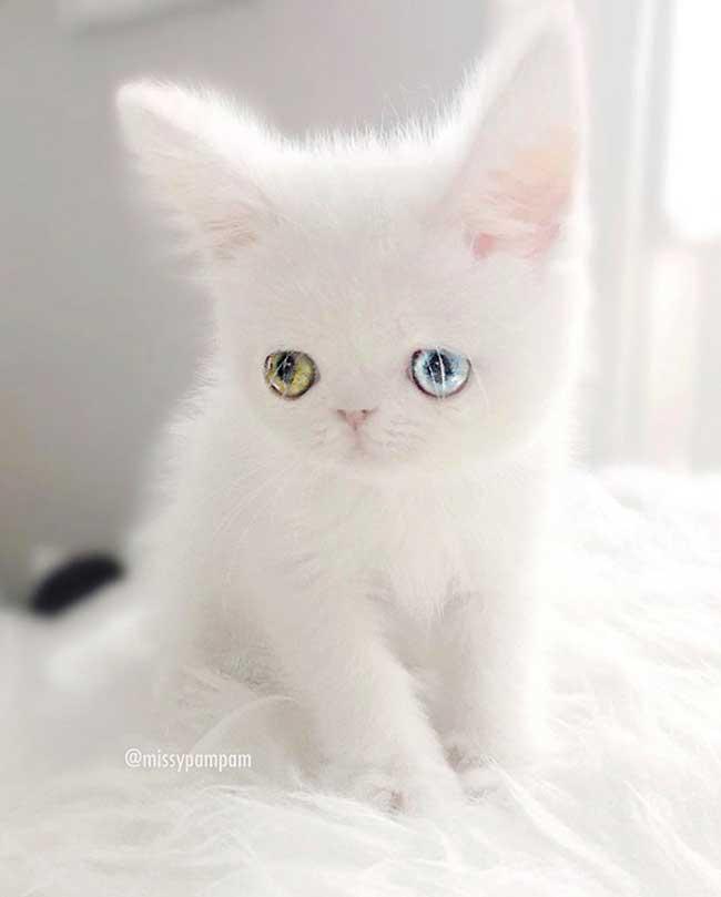 pam pam yeux vairons heterochromia iridis 1 - Pam Pam, le Chat Blanc aux Yeux de 2 Couleurs qui Subjugue Internet