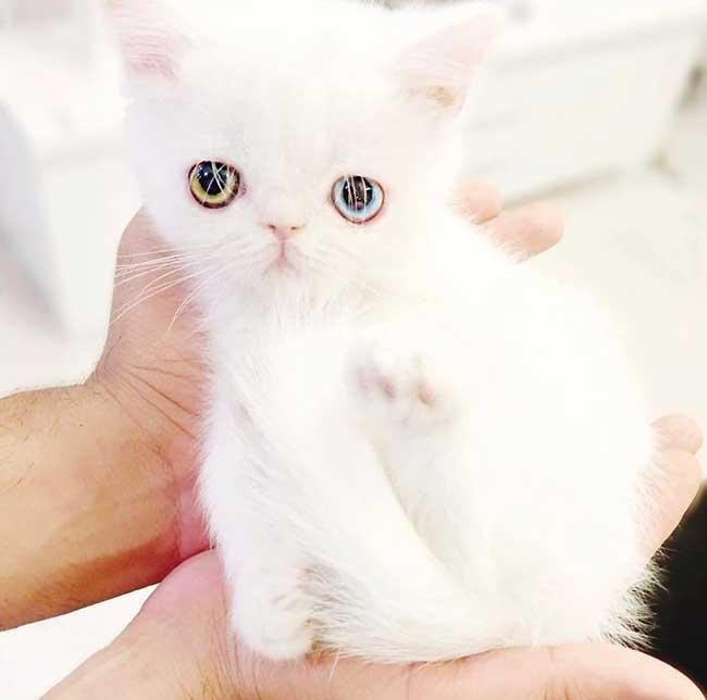 pam pam yeux vairons heterochromia iridis 2 - Pam Pam, le Chat Blanc aux Yeux de 2 Couleurs qui Subjugue Internet