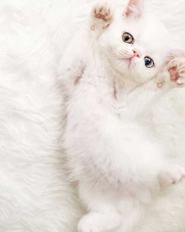pam pam yeux vairons heterochromia iridis 3 - Pam Pam, le Chat Blanc aux Yeux de 2 Couleurs qui Subjugue Internet