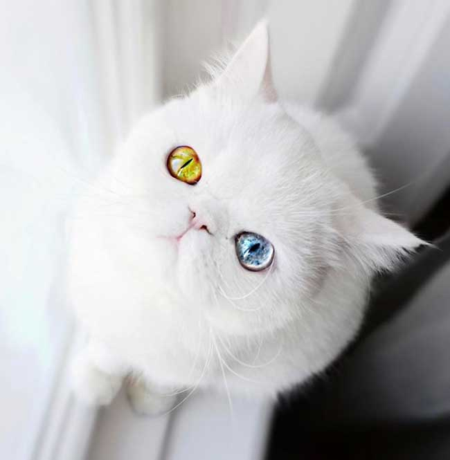 , Pam Pam, le Chat Blanc aux Yeux de 2 Couleurs qui Subjugue Internet