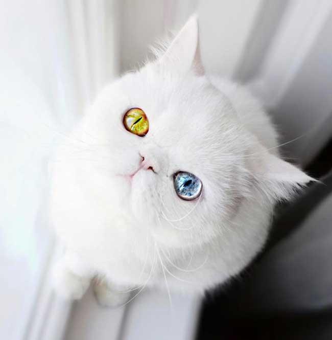 pam pam yeux vairons heterochromia iridis 4 - Pam Pam, le Chat Blanc aux Yeux de 2 Couleurs qui Subjugue Internet