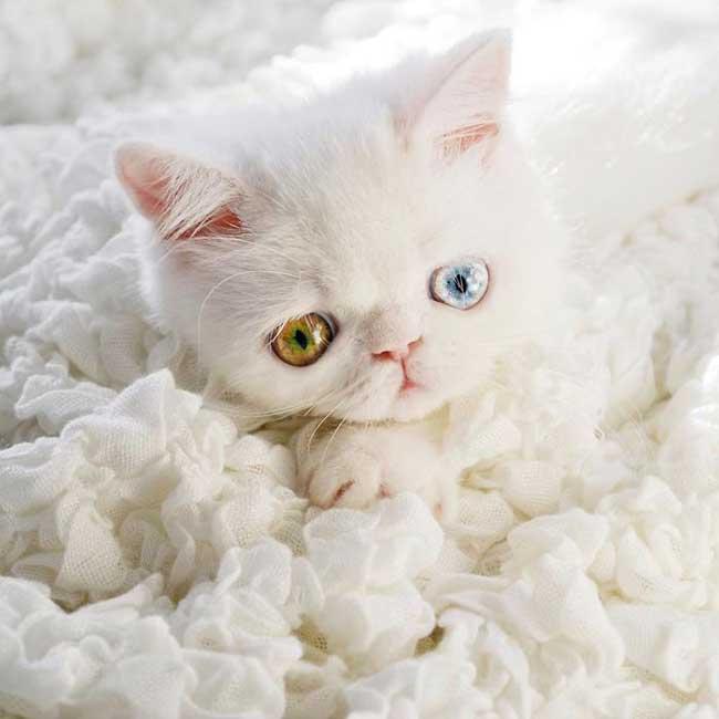 pam pam yeux vairons heterochromia iridis 6 - Pam Pam, le Chat Blanc aux Yeux de 2 Couleurs qui Subjugue Internet