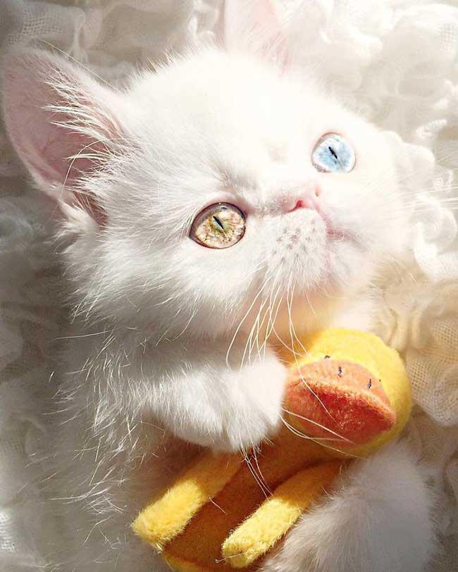 pam pam yeux vairons heterochromia iridis 8 - Pam Pam, le Chat Blanc aux Yeux de 2 Couleurs qui Subjugue Internet