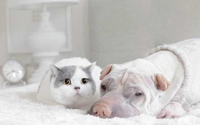 , Ce Chien Sharpeï et ce Chat sont deux Amis pour la Vie