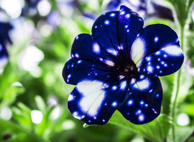 Fleure petales galaxie Pétunia Night Sky / Nuit Etoilée