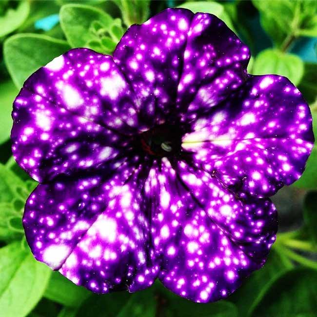 fleurs péetunias, Ces Fleurs Pétunias ont l'Univers dans leurs Pétales
