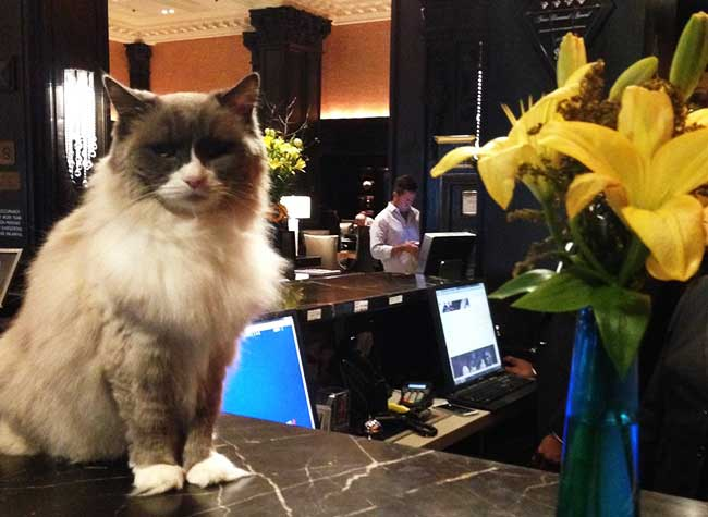 matilda chat hotel algonquin new york 1 - 7 ans que ce Chat Accueille les Clients de cet Hotel de Luxe New Yorkais