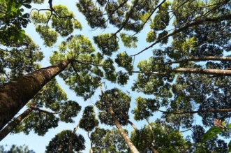 timidite cimes arbres crown shyness