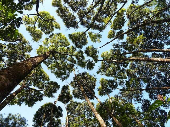 timidite cimes arbres crown shyness
