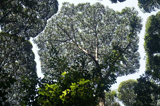 cimes arbres, La Timidité des Cimes, Quand les Arbres ne se Touchent Pas