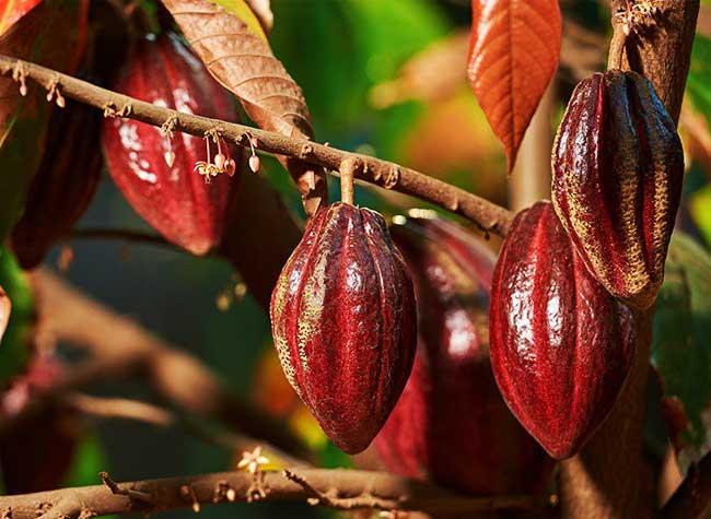 Rubis Chocolat Rose Feve Ruby, Rubis, le Nouveau Chocolat Rose Pur 100% Naturel Arrive